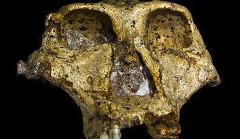 The original complete skull (without mandible) of a 1.8 million-year-old Paranthropus robustus, discovered in South Africa.