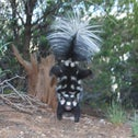 A spotted skunk doing its signature handstand.