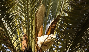 A date palm flowers