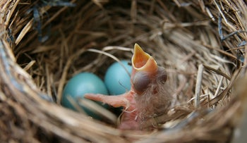 A newly-hatched chick in a robin's nest. Native or intruder?