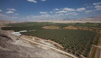 A date palm plantations near the Israeli settlement of Hamra in the West Bank.