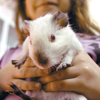 Israeli schools are phasing out pet corners for guinea pigs like this one.
