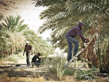Palestinians working at a grove of date palms in the Jordan Valley.