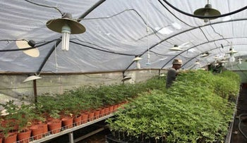 A worker tends to cannabis plants at Tikun Olam, Safed.