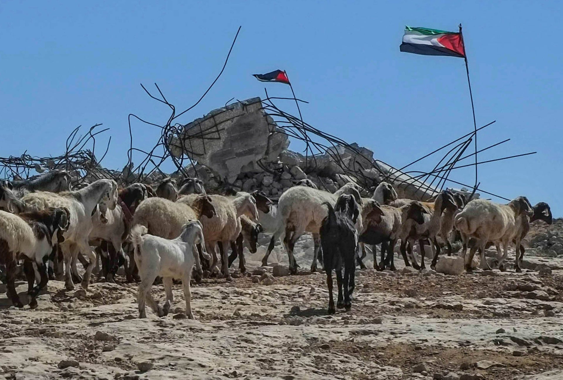 Sheep grazing in the South Hebron Hills, West Bank.