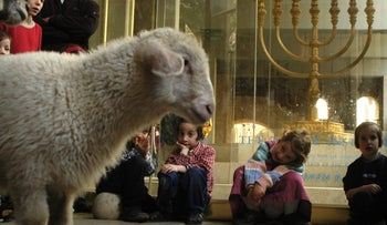 In 2007, a group of Sanhedrin sought to resume sacrifice on Temple Mount. The sheep were readied.