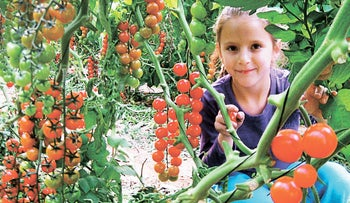 Organic tomato-picking, part of Arava's agricultural event in the south.