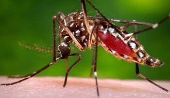 A female Aedes aegypti mosquito in the process of acquiring a blood meal from a human host. The Zika virus is spread through mosquito bites.