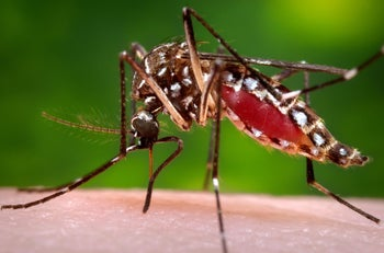 An Aedes aegypti mosquito, eating. Only the females suck blood, so this is a female. Photo (2006) provided to AP by the Centers for Disease Control and Prevention.