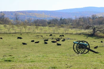 Cattle graze on what had been the Antietam National Battlefield in Sharpsburg, Md., which hosted the bloodiest one-day battle on U.S. soil, an hour from Washington.