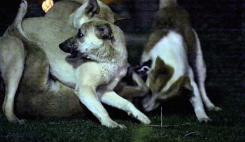 Still shot from 'Dogs,' a video installation by Itay Marom (2015). Becomes darker and deeper the more it is viewed.