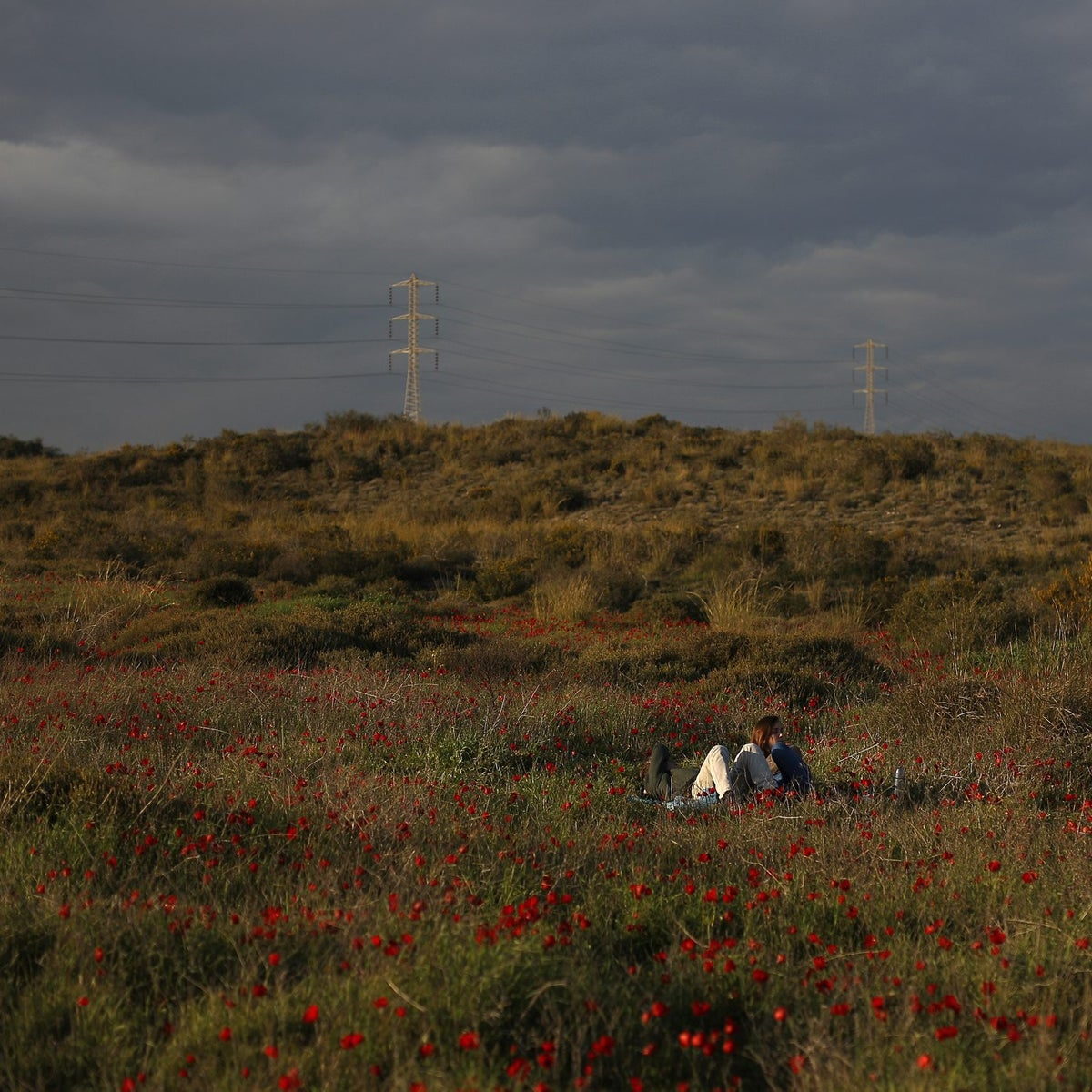 Anemones bloom near the Lakhish Junction in southern Israel.