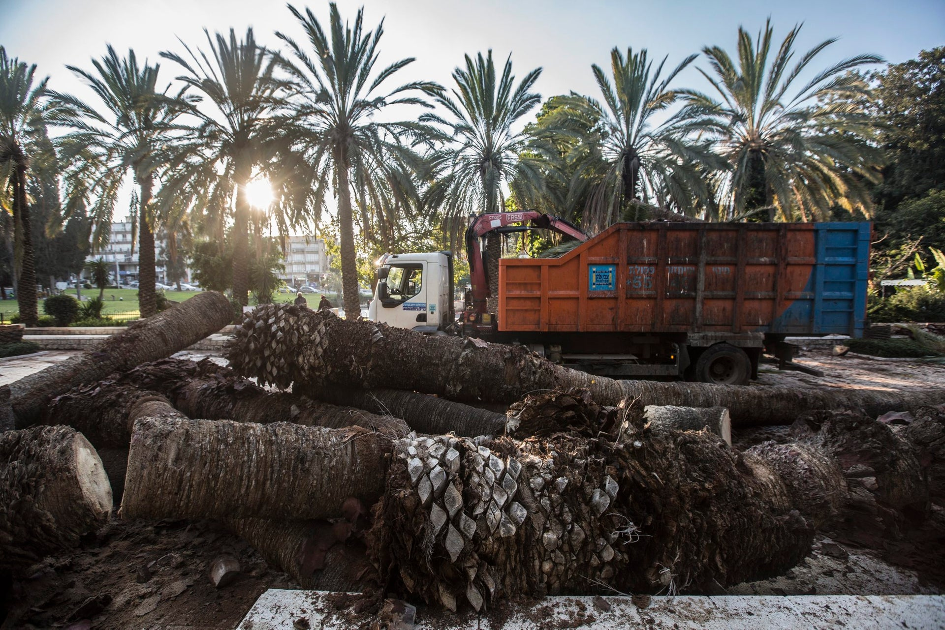 Removal of palm trees destroyed by the red palm weevil, a type of beetle, in Rishon Lezion.