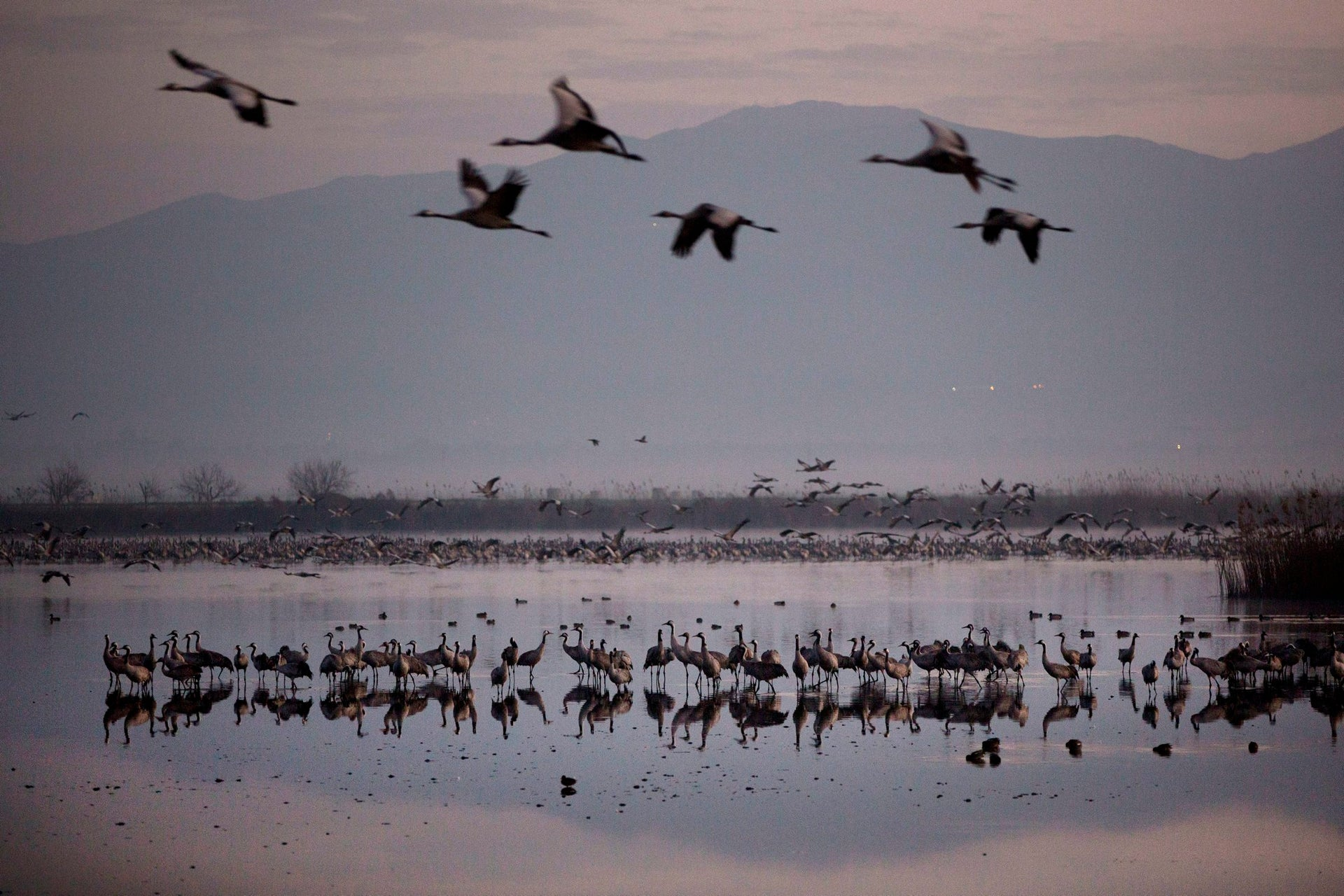 Migrating cranes flocking at the Hula Lake conservation area, north of the Sea of Galilee, in northern Israel, February 14, 2016.