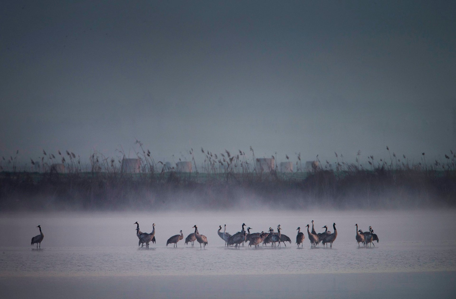 Migrating cranes flock at the Hula Lake conservation area, north of the Sea of Galilee, in northern Israel, February 14, 2016.