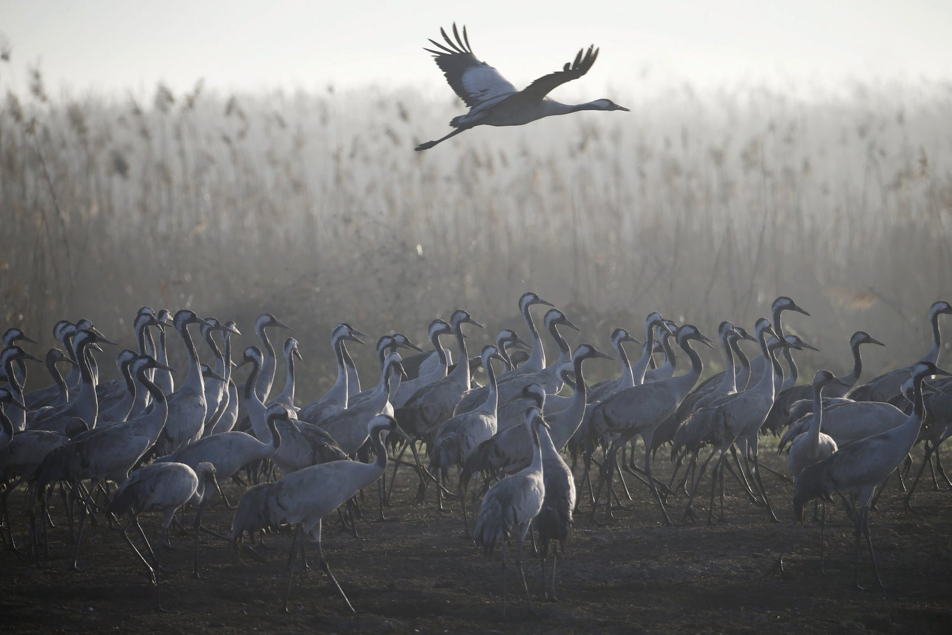 Migrating cranes stand as another flies over the Hula Lake Ornithology and Nature Park in northern Israel, February 14, 2016.