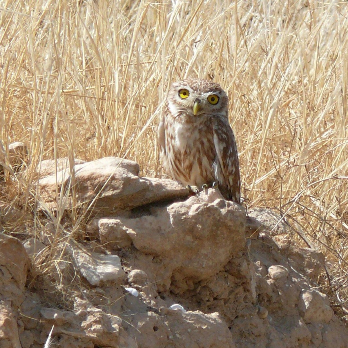The brown and white little owl with piercing yellow eyes and beak, pictured in his Negev perch