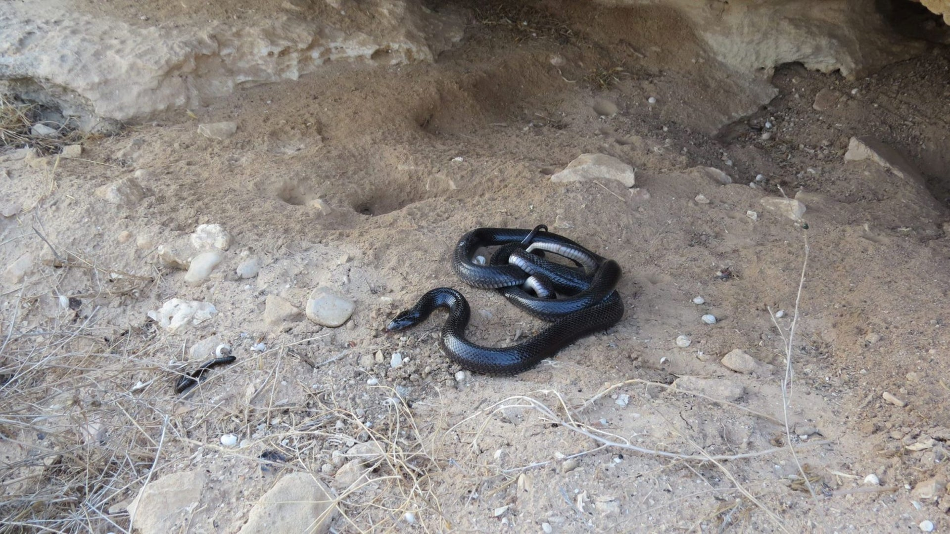 A desert black snake winds his way around the rocks in southern Israel.