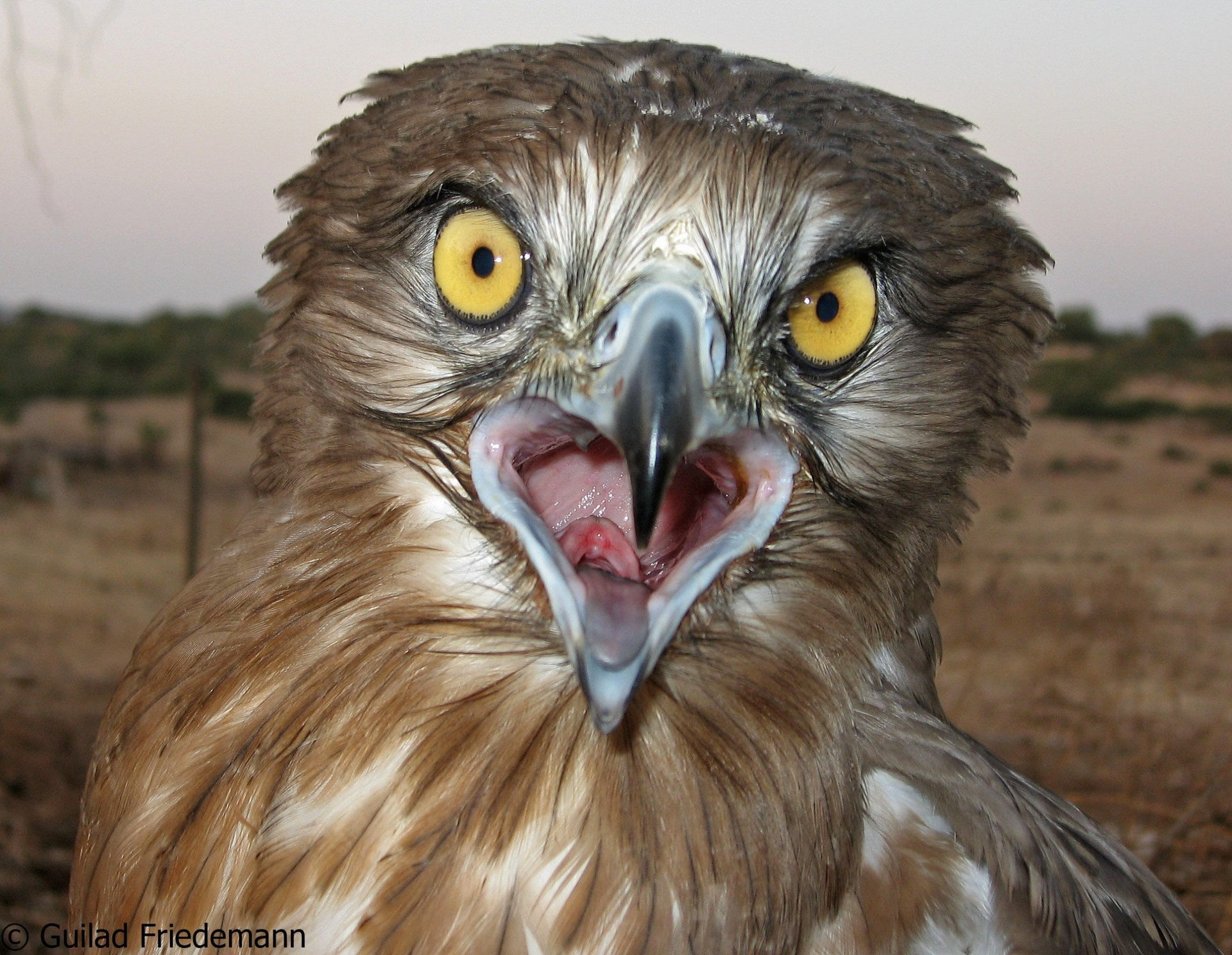 A short-toed eagle is one of the stars of nature's 'Big Brother' show.