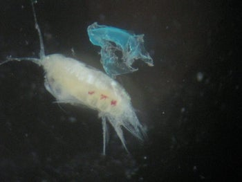 'Microplastic' particles (blue) next to zooplankton