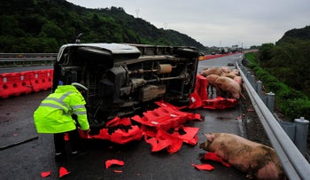 A traffic policeman examines the site of a truck transporting pigs that overturned on a highway in Jinhua, Zhejiang Province, China, last month.