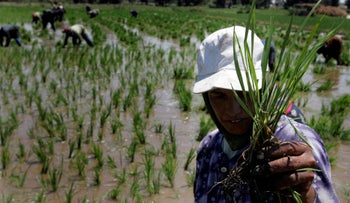 Of all the grains, rice has the greatest capacity to absorb natural inorganic arsenic, which we then cook and eat. Workers transplanting rice seedlings in the Nile Delta town of Kafr Al-Sheikh, north of Cairo, Egypt, May 28, 2008.