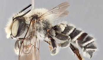Megachile chomskyi is a bee that derives its name from the famous Jewish linguist, Noam Chomsky.