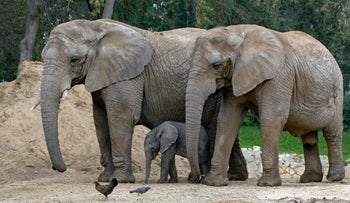 Elephants at the Ramat Gan Safari in Israel: Male, female and baby. They are definitely African elephants, but are they of the savannah or forest species?