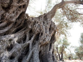 Olive trees, like this hoary one by Moshav Hadid, can be centuries and even millennia old, yet retain their vitality.