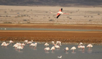Flamingo at Eilat's salt pools, not far from location of planned turbines.