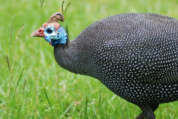 This is a picture of an African guineafowl, which could, at a long distance, if one is not armed with spectacles or binoculars, be mistaken for a wild turkey.