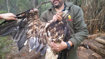 A man holds one of the female Czech Imperial Eagles that was nursed back to health in a controlled environment in Israel.