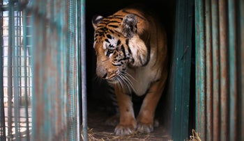 A tiger named Laziz stands in its enclosure before it is taken out of Gaza by Four Paws International, at a zoo in Khan Younis in the southern Gaza Strip August 23, 2016.