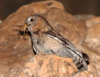 The desert tawny owl sites in its nest snacking on a bug.
