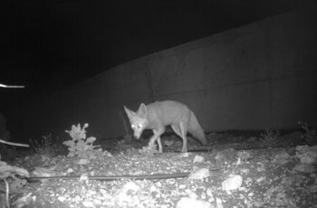A fox crossing the new animal bridge in northern Israel, over Route 85 and near Kibbutz Amiad, August 2016.