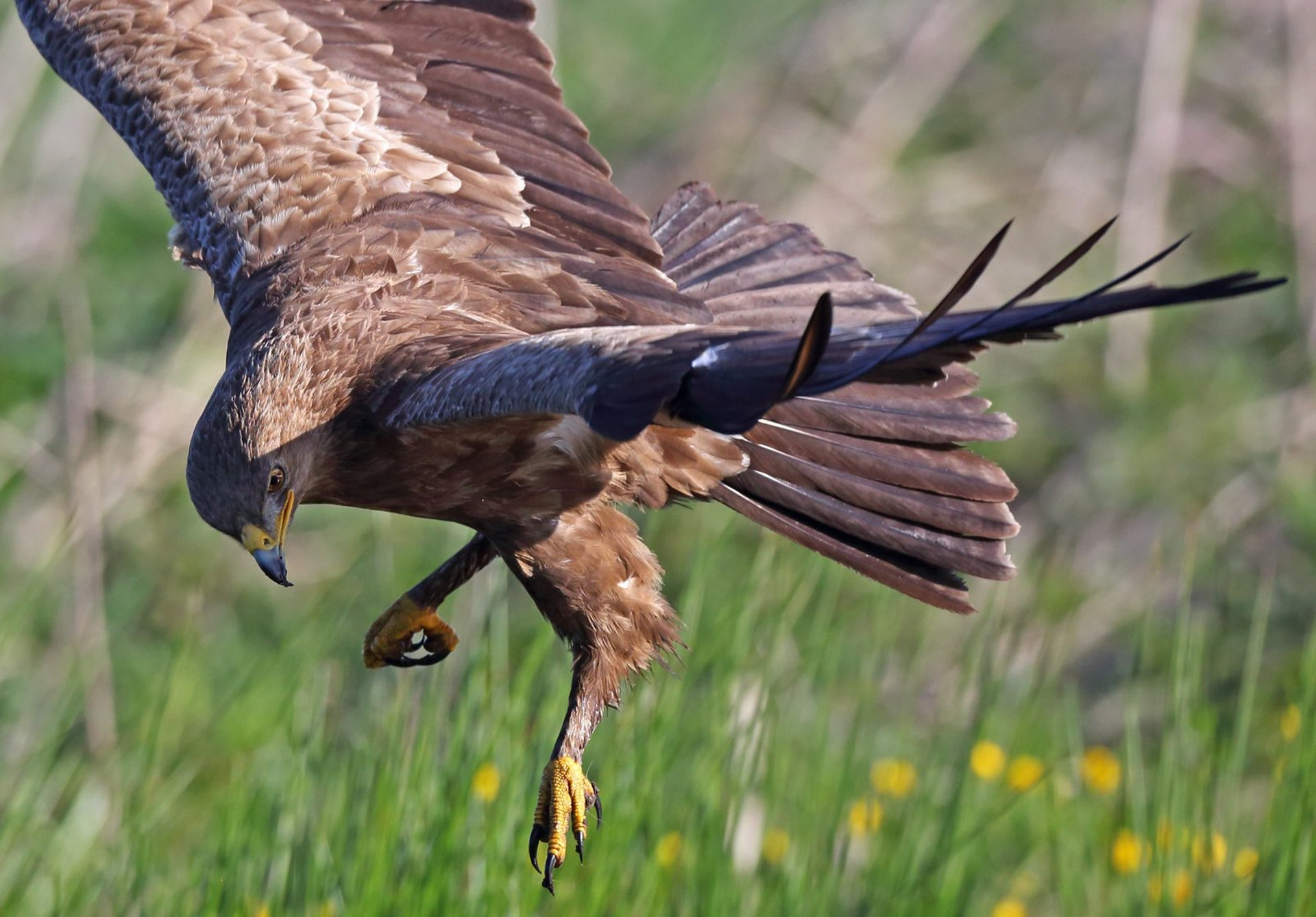 A lesser spotted eagle