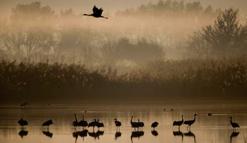 Migrating Cranes flock to the Hula Lake conservation area, north of the Sea of Galilee, northern Israel, Wednesday, Dec. 7, 2016. About 42,500 cranes are in Hula Lake conservation area today. More than half a billion birds of some 400 different species pass through the Jordan Valley to Africa and go back to Europe during the year.