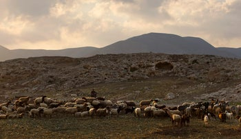 A Palestinian shepherd herds his flock near the Israeli settlement of Argaman in the Jordan Valley.