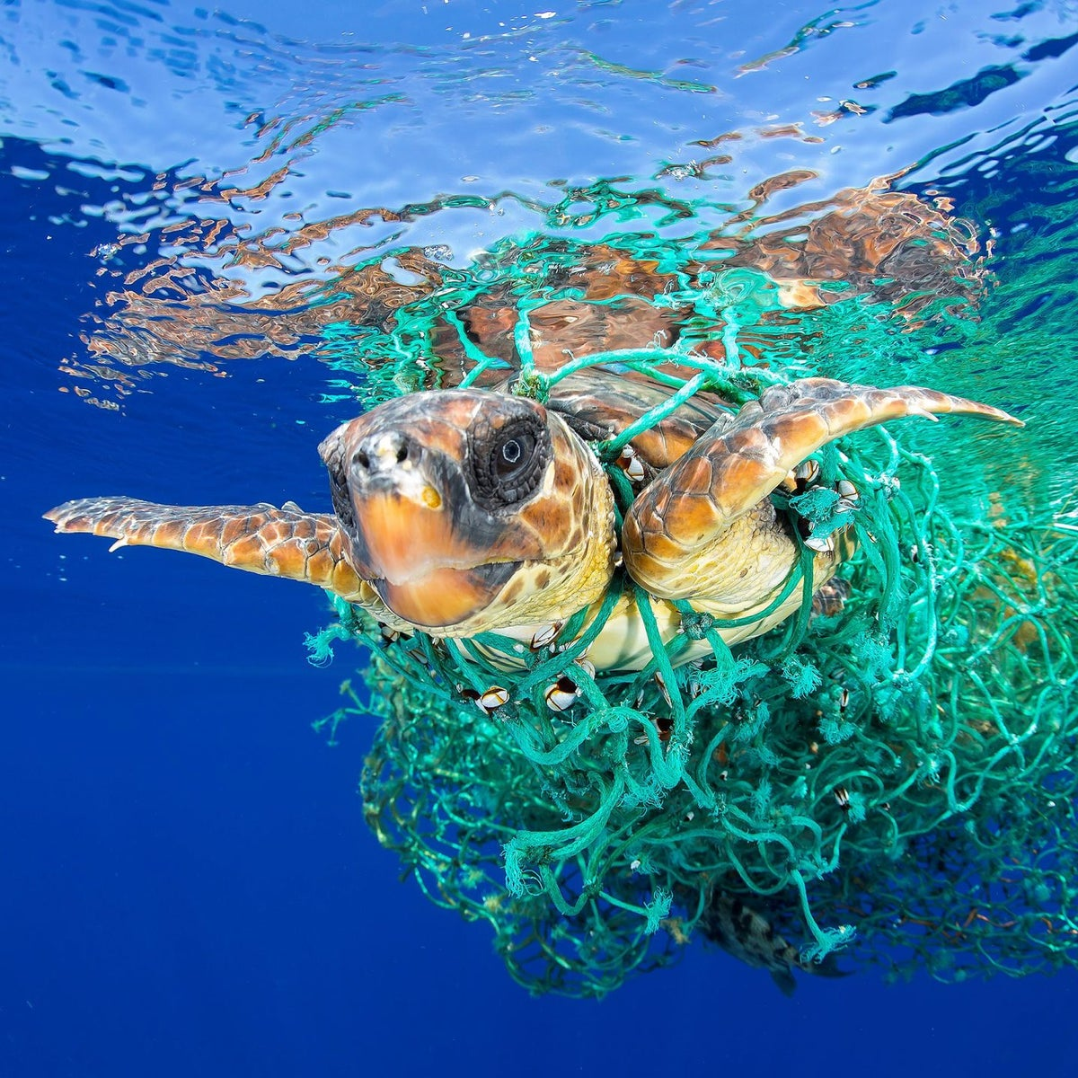 Nature, first prize singles - A sea turtle entangled in a fishing net swims off the coast of Tenerife, Canary Islands, Spain.