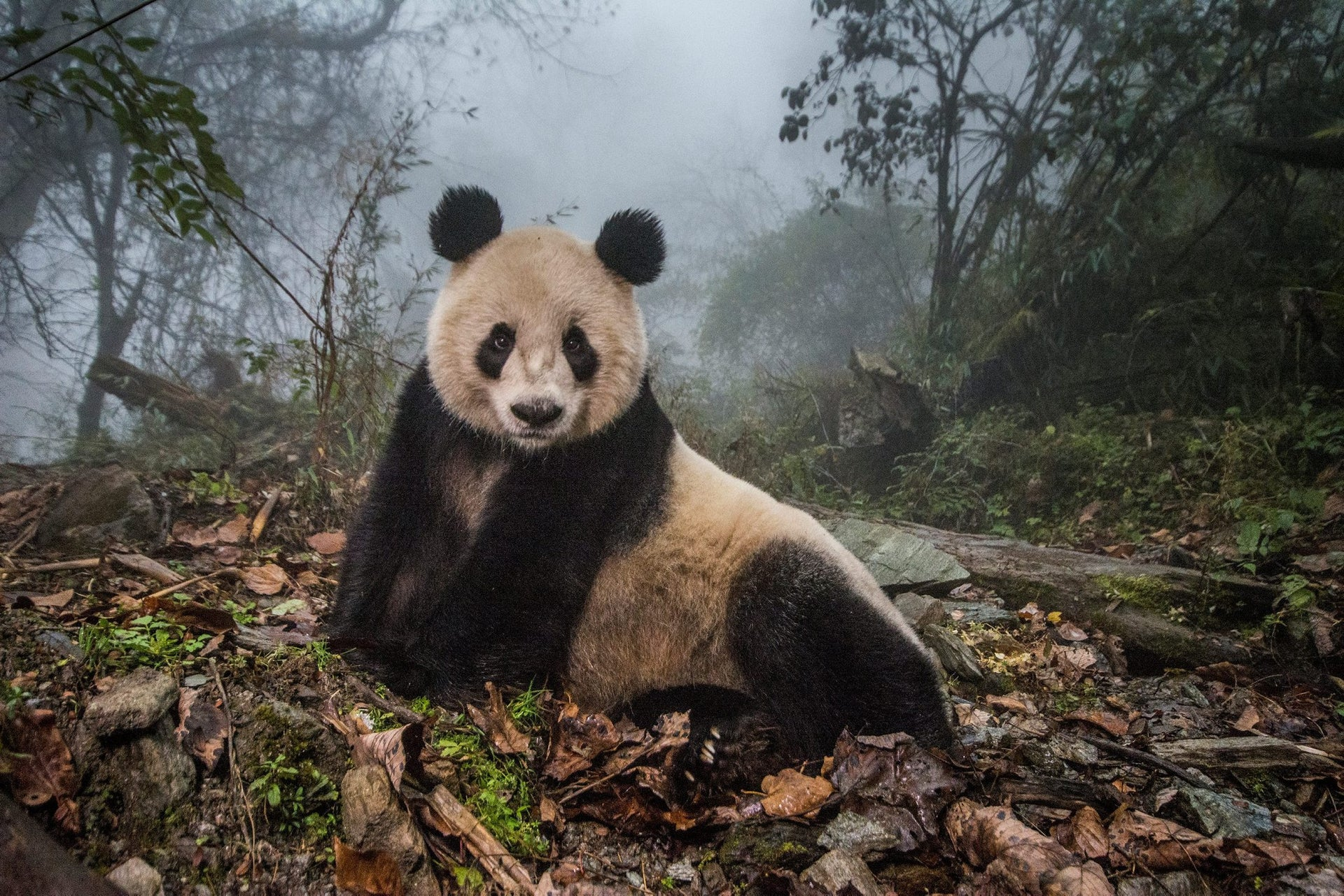 """Nature, second prize stories - A 16-year-old giant panda was released into the wild after two years of """"panda training""""."""
