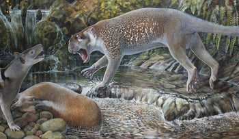 Paleoartist's impression of a Wakaleo schouteni marsupial lion challenging a thylacine over the carcass of a kangaroo in the early Miocene forests of Riversleigh