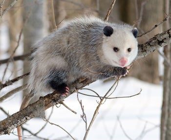 North American Opossum with winter coat.