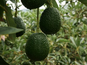 Avocados hang from a tree at the Finca Los Abuelos plantation in El Penol, Colombia, on Thursday, Oct. 22, 2015. Colombian Hass avocado exports to the European Union in the first quarter of this year exceeded $4.6 million, more than in all of 2014, and now the country is setting its sights on the lucrative U.S. market, according to the Ministry of Agriculture.