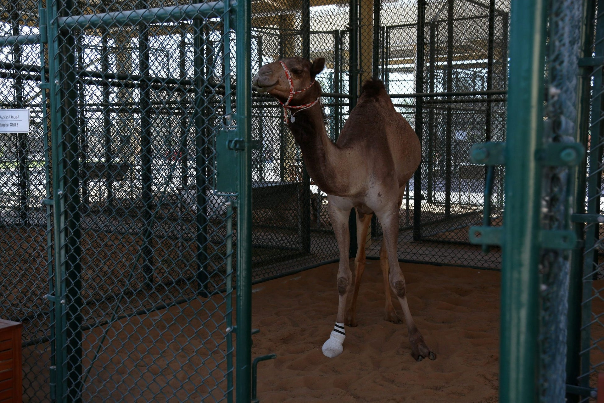 A camel stands in the surgical stall at the Dubai Camel Hospital in Dubai, UAE, December 11, 2017. Picture taken December 11,2017.