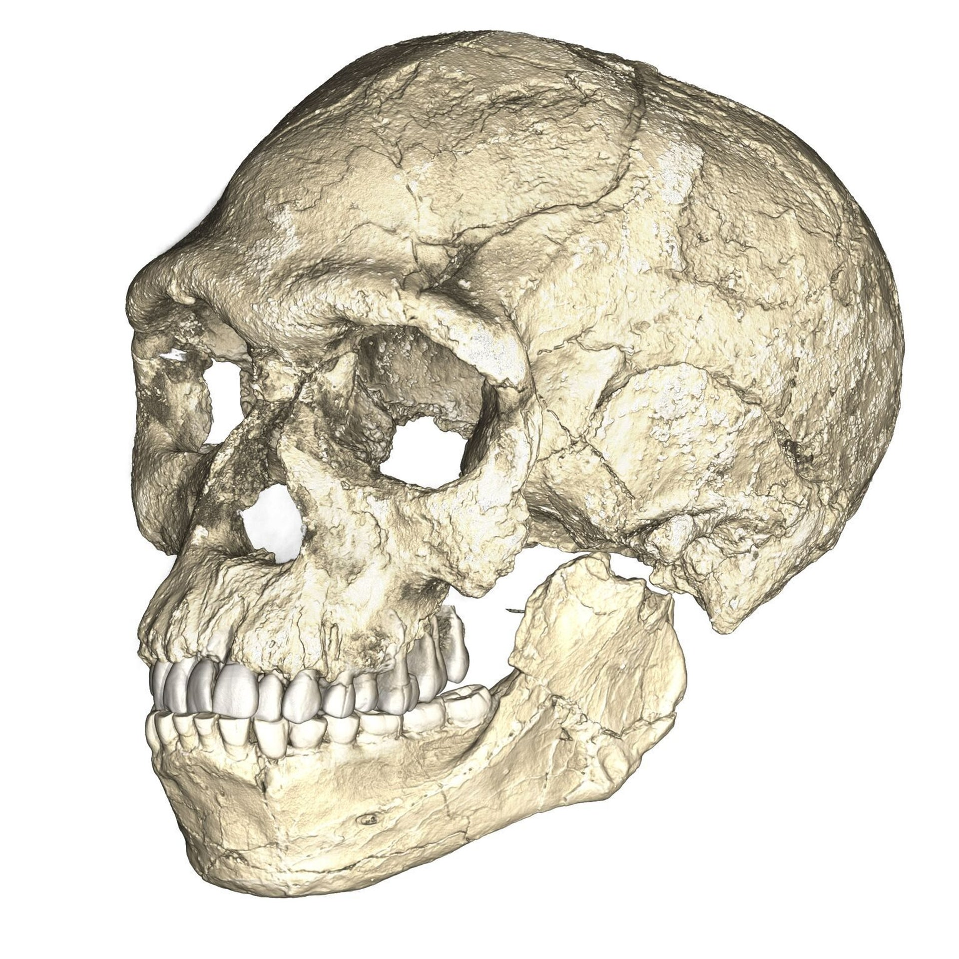 A composite reconstruction of the earliest known Homo sapiens fossils from Jebel Irhoud (Morocco) based on micro computed tomographic scans of multiple original fossils. Dated to 300,000 years ago these early Homo sapiens already have a modern-looking face that falls within the variation of humans living today. However, the archaic-looking braincase indicates that brain shape, and possibly brain function, evolved within the Homo sapiens lineage.