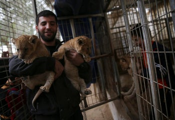 Ahmad Joma'a, a zoo worker holds two-month-old lion cubs at the zoo in Rafah, Gaza Strip, December 22, 2017.