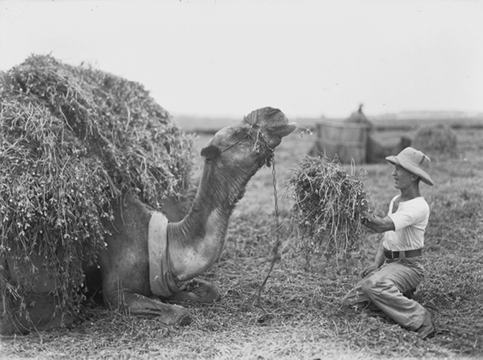 Loading hay onto a camel at Kfar Vitkin, 1939.