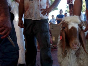 Preparations for a kosher slaughter of a sheep in Har Meron, Israel.