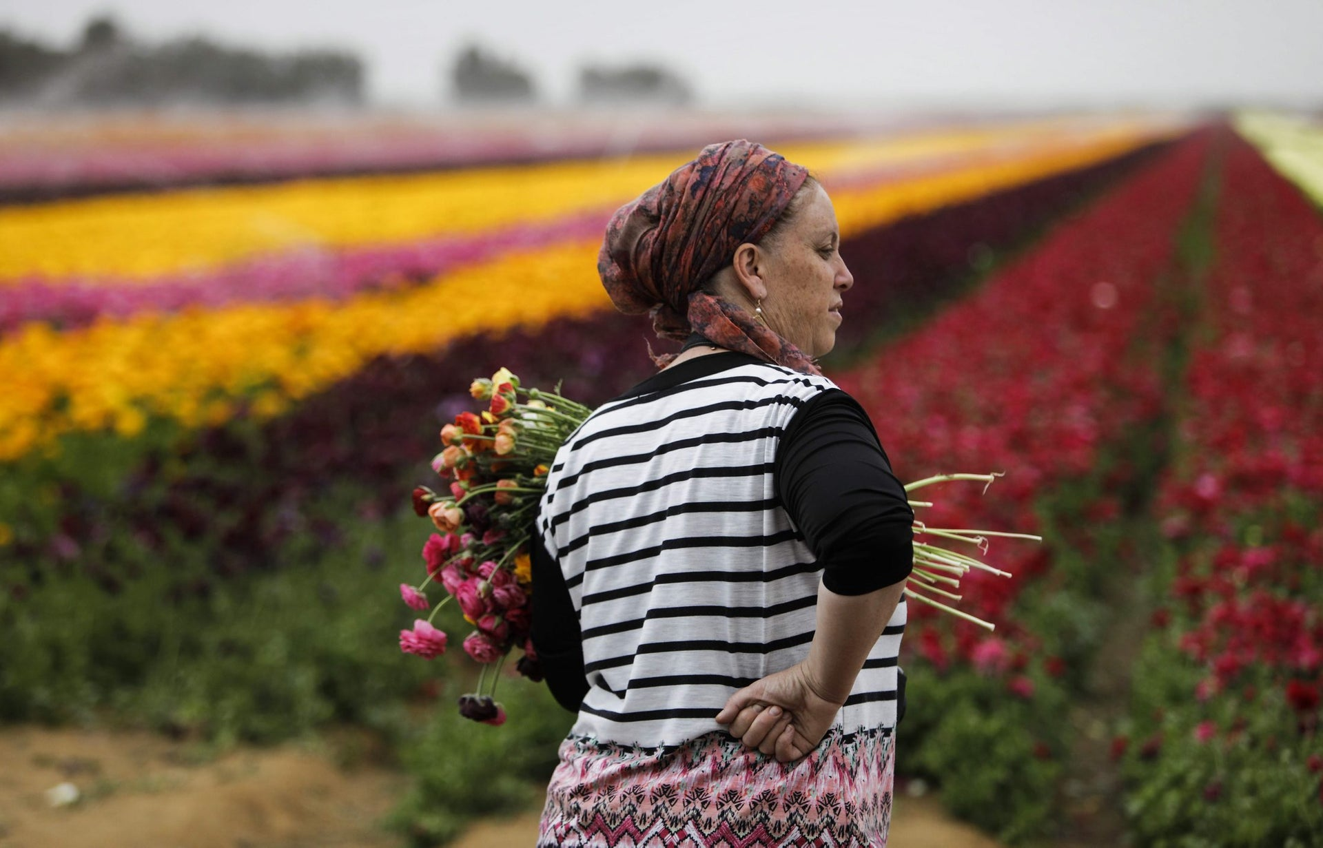 An Israeli woman holds a pack of flowers as she enjoys the Ranunculus flowers in a field in the southern Israeli Kibbutz of Nir Yitzhak, located along the Israeli-Gaza Strip border, during the Jewish holiday of Pesach (Passover) on April 12, 2017.