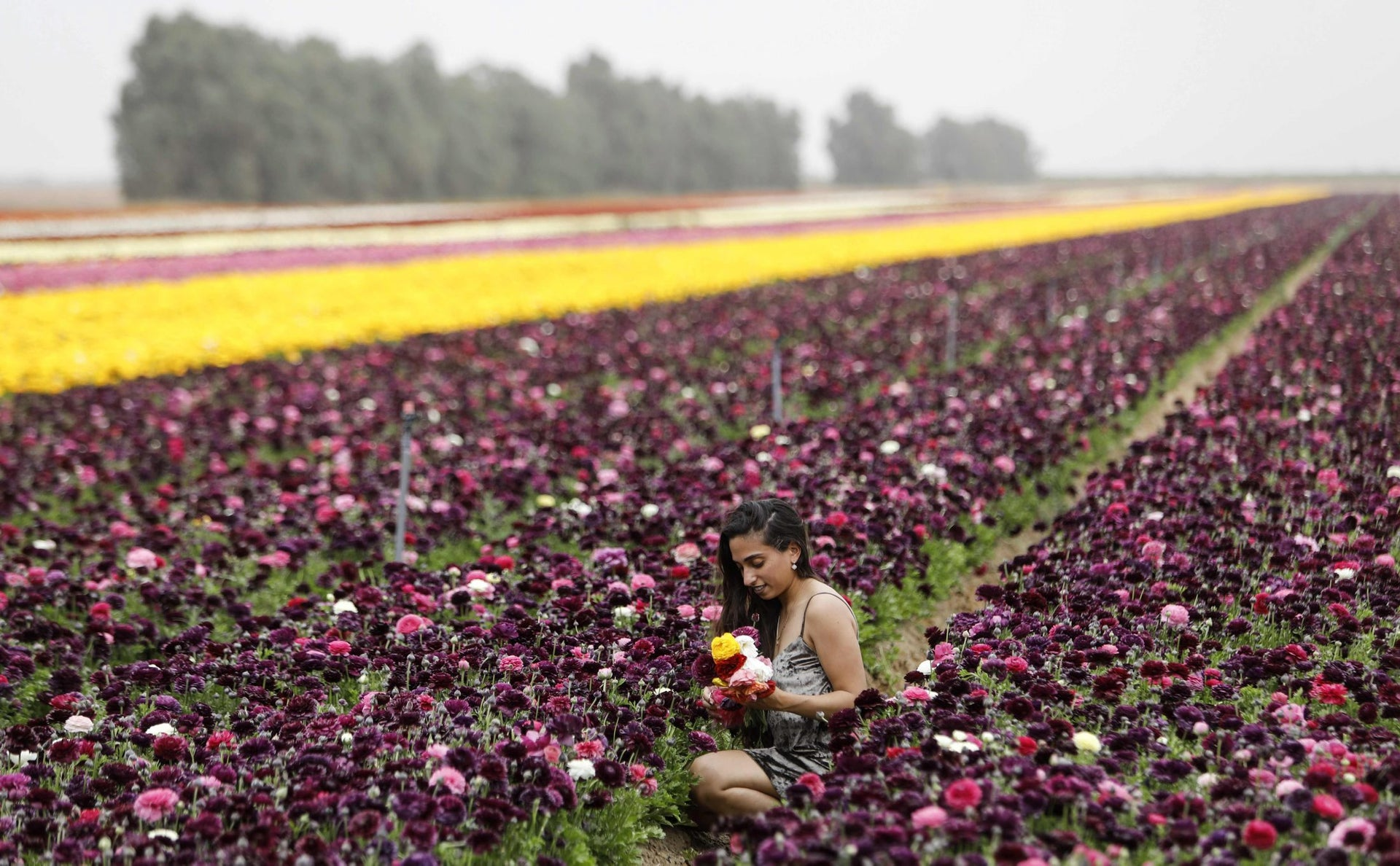 An Israeli woman sits in a field of Ranunculus flowers in the southern kibbutz of Nir Yitzhak during Passover, April 12, 2017.